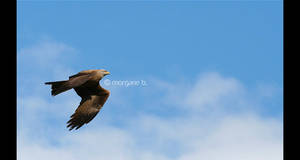black kite I by moem-photography