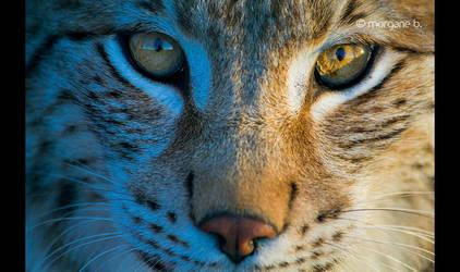 Lynx V by moem-photography