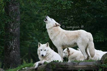 White wolves V by moem-photography