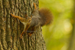 squirrel by moem-photography