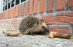 Hedgehog by AgentNuschka