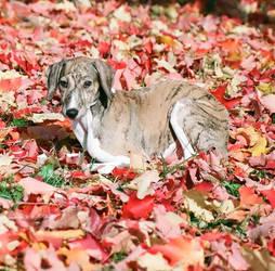 Autumn Azawakh by Noblewinds
