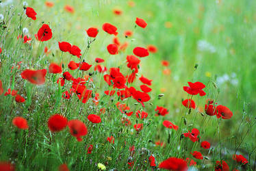 poppies by Adeuh