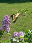 Butterfly by YoukoKurama25