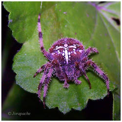 shaggy spider by Jorapache