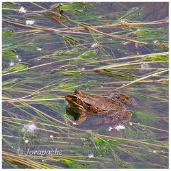 Small frog by Jorapache