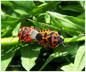 Couple of harlequin bugs by Jorapache