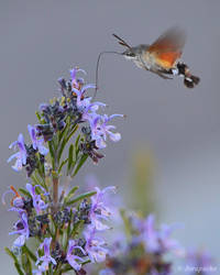 Hummingbird  hawk moth flying by Jorapache