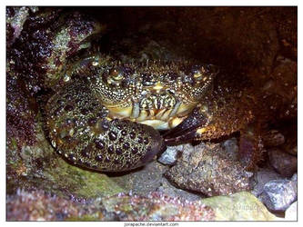 Crab in his cave by Jorapache