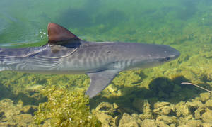 Shy Tiger Shark by BioHazardSystem