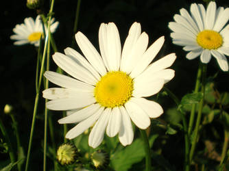 ox-eye daisy by Swebilius
