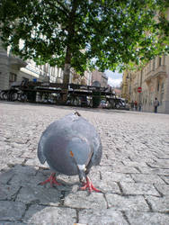Prague Dove by Swebilius
