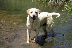 Yellow lab 5 by shaenne-stock