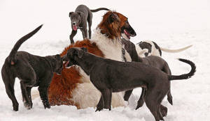 More Grey Pups + Borzoi by eljakim