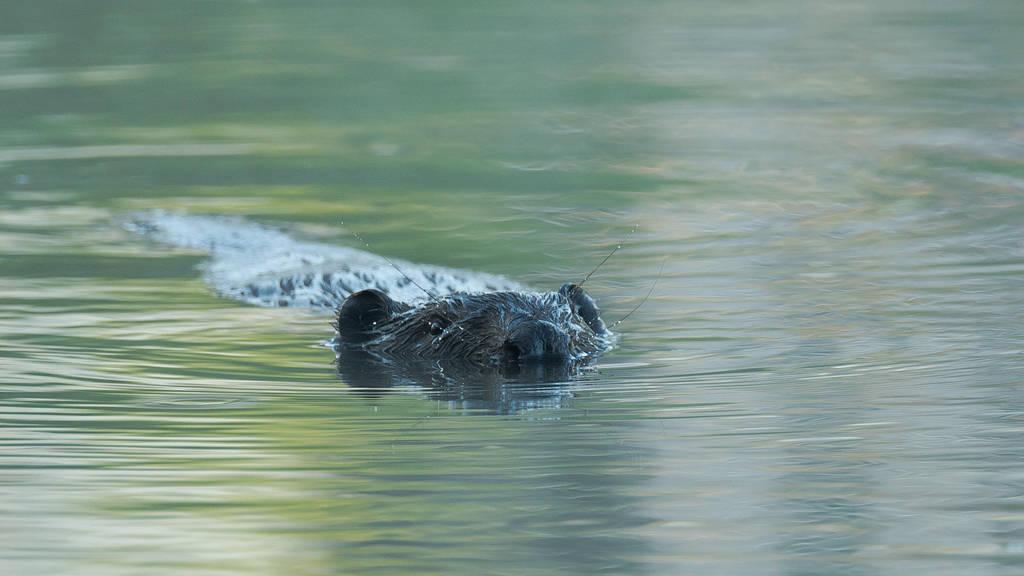 meeting the beaver 2 by Wirikos