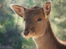 fallow deer by Wirikos