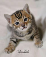Baby Bengal by E-Davila-Photography