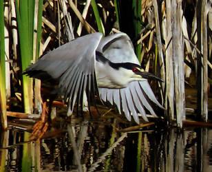 Black Crowned Night Heron Squa by houstonryan