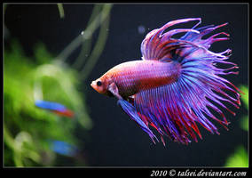 Betta by talsei