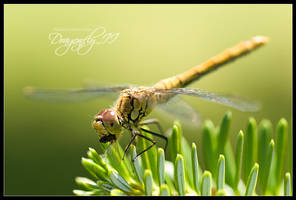 Dragonfly II by talsei