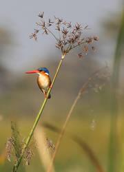 Malachite Kingfisher II by Suppi-lu-liuma