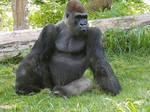 Omaha Zoo Gorilla by Trendorman