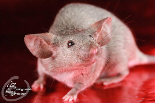 Van Raaij's Pepper - Show Mouse by BanzZaii