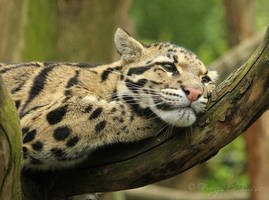 Clouded leopard by Gambassi