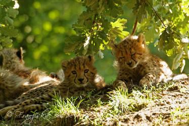 Cheetah cubs III by Gambassi