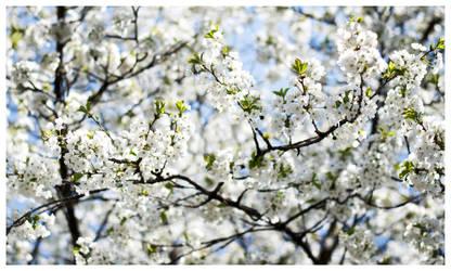 Lovely cherry by Denaru