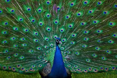 Peacock by Lash-Upon-Lash
