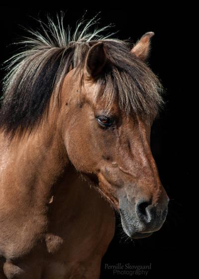 Icelandic/Fjord pony Portrait by cutedeviantfangirl