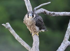 Falco peregrinus by ohlopkov