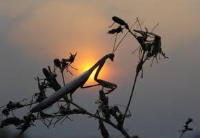 Mantis religiosa #2 by ohlopkov