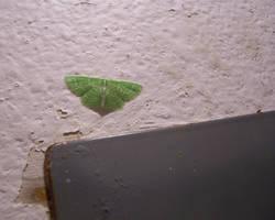 Green Inchworm Moth by aquaviann