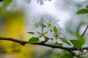 Heavenly Pear Flowers by Loffy0