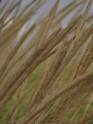 Beach Grass by MuffyMorrigan