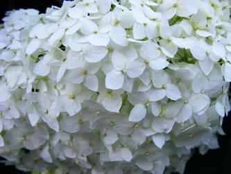 white flowers by ruuchii