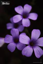 Purple Flowers by BelkaHazler