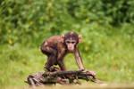 Monkey 03 by MagicFotoStock