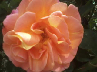 Rose1 by Maebry