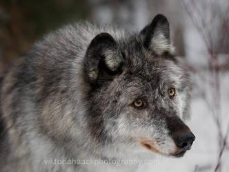 she wolf by islandtime