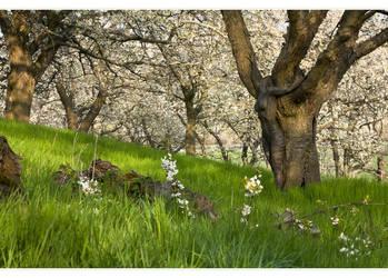 bloomy old cherry trees by MetamorphosisV