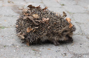 Poor Mr Hedgehog by HexeMistelzweig