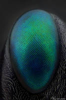 Ensign Wasp's eye (Evaniidae) by AlHabshi