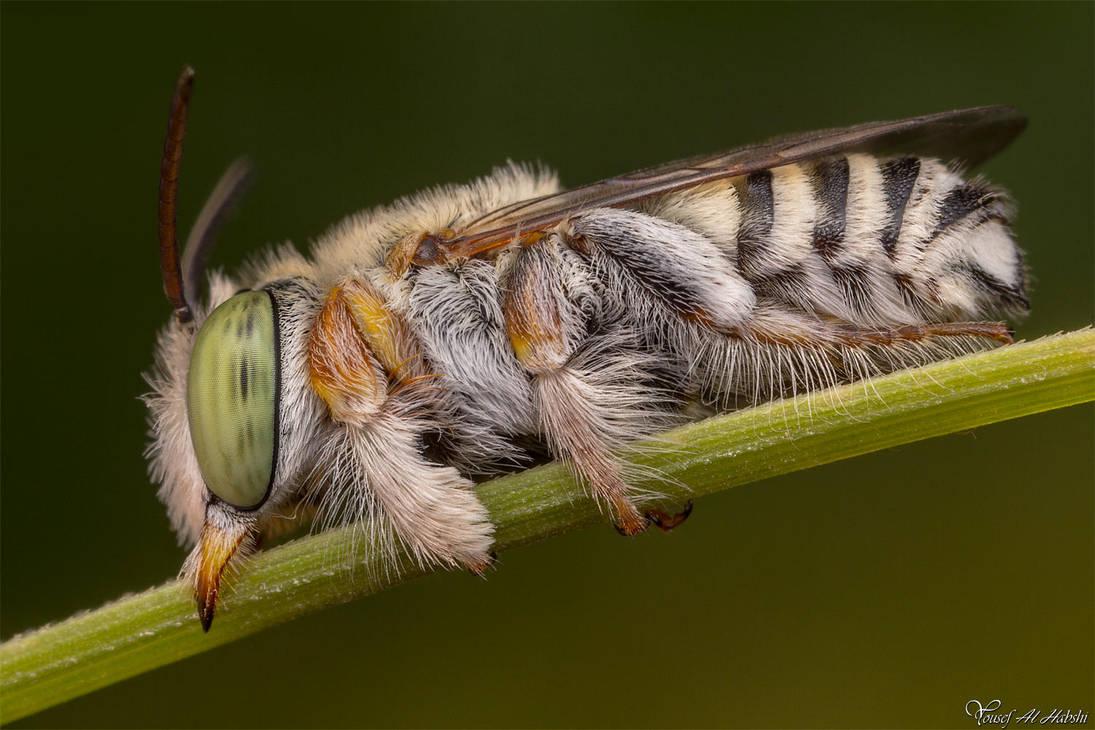 Leaf Cutting Bee by AlHabshi