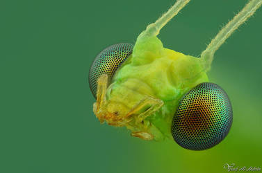 Green Lacewing by AlHabshi