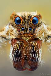 Wolf Spider (Lycosidae) by AlHabshi