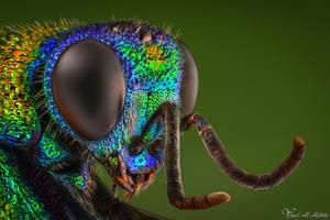 Cuckoo Wasp by AlHabshi