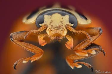 Ladybug (Minochilus sexmaculatus) by AlHabshi